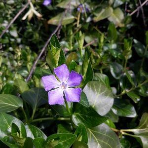Live Vinca plant periwinkle
